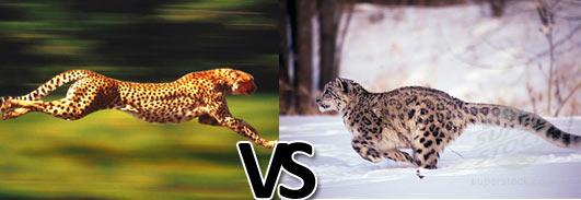 leopardvssnowleopard