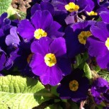 iPhone5 PurpleFlower Feb2013